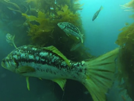 Scuba-Catalina-Fishes