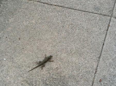 Lizard-on-sidewalk