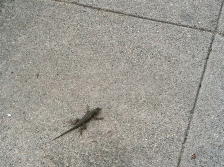 Lizard-on-sidewalk