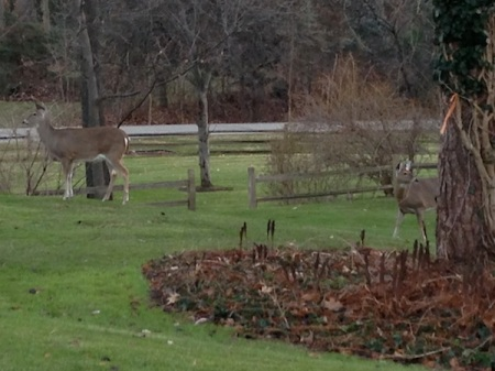 Deer-on-grass
