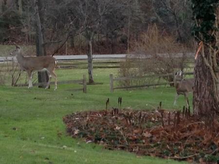 Deer-on-grass