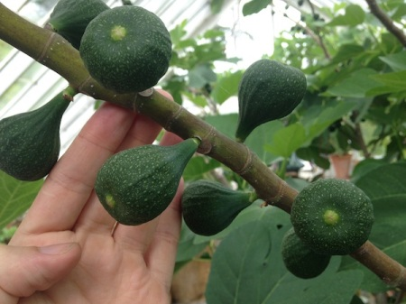 figs-growing-on-tree