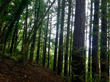 redwood-trees-mill-valley-marin-county